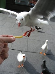 "Do seagulls like fries? also called ""Uccello mangia Patatina"" (Sir Francis Canker Photography ) Tags: ocean barcelona madrid viaje sea panorama mer beach landscape torino francis harbor mar flying interesting sand mare view pacific harbour oz pigeon seagull gull patatas sydney beijing picture australia frites paloma best chips mcdonalds fries scenary cabeza vista tasmania australien wineglass aussie lopez tasman paco tassie ever turin gaviota viaggio pacifico gabbiano oceano australie lucena fritas monferrato patatasfritas arenzano gabiota patatina animalkingdomelite abigfave brusasco ured anawesomeshot ltytr1 cankerjones sirfranciscankerjones pacocabezalopez"