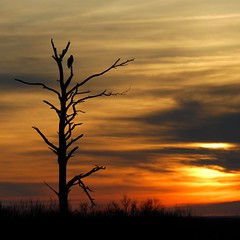 Bald Eagle @ Sunrise - Blackwater NWR, Maryland (Nikographer [Jon]) Tags: morning sun tree bird birds animal animals topv111 clouds sunrise landscape dawn landscapes lenstagged nikon december eagle baldeagle bald 2006 dec d200 nikkor haliaeetusleucocephalus haliaeetus leucocephalus 80400mmf4556dvr nikond200 nikographer marylandseasternshore abigfave blackwaterrefuge 20061216d20038393 nikographerjon