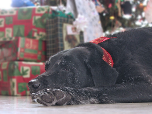 black labrador retriever - Christmas