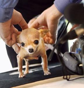Chihuahua mas pequeño