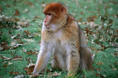 Barbary macaque monkey (mape_s) Tags: wood wild cute green nature grass leaves animal hair fur mammal zoo monkey colorful sitting looking natural background wildlife small jungle ape apenheul snout muzzle rhesusmonkey barbarymacaque macacamulatta mariekekuijpers