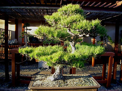 "25 year old ""informal upright"" bonsai - Japanese Garden, Balboa Park (Terry.Tyson) Tags: bonsai japanesegardenbalboapark"