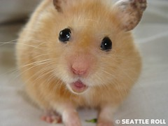 I love you Kuma (Seattle Roll) Tags: pet pets smile animal animals golden hamster unforgettable hamsters syrian
