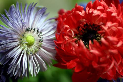anemone monarch