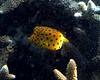 Cube Boxfish Juvenile