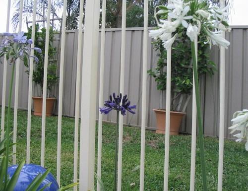 Black pantha agapanthus