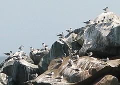 One million gulls (on the rocks) (surroundsound5000) Tags: birds coast rocks harbour crowdy