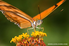 Dryas-julia Butterfly (Luís Louro) Tags: macro nature colors animals ilovenature wings nikon costarica wildlife butterflies insects planet itsonginvite wildlifephotography animalkingdomelite akimageoftheday