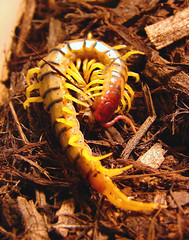 Kiss of Death (Furryscaly) Tags: food pet macro animal closeup bug kill legs feeding killing eating stripes critter biting cricket eat meal exoskeleton bite feed limbs fangs centipede captive creature striped antennae hunt captivity poisonous venomous invertebrate feelers arthropod biter segments fanged segmented myriapod myriapoda scolopendra chilopoda acheta maxillipeds europeanhousecricket achetadomestica tigercentipede scolopendrapolymorpha texascentipede texastigercentipede commondesertcentipede desertcentipede multicoloredcentipede northamericantigercentipede giantsouthwesttigercentipede gianttigercentipede southwesttigercentipede northamericandesertcentipede giantdesertcentipede arizonatigercentipede arizonacentipede deserttigercentipede commoncentipede texastigerstripecentipede arizonatigerstripecentipede spolymorpha envenomate taxonomy:kingdom=animalia taxonomy:class=chilopoda taxonomy:phylum=arthropoda taxonomy:binomial=scolopendrapolymorpha taxonomy:order=scolopendromorpha taxonomy:family=scolopendridae taxonomy:genus=scolopendra taxonomy:subphylum=myriapoda
