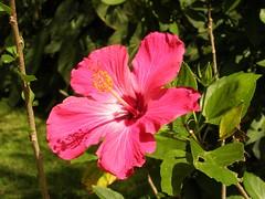 Hibiscus in El Valle.JPG