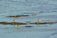 Black-tailed Godwits and Common Sandpipers