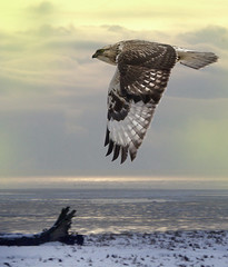 Fly-by: Sunrise on the Gulf of Georgia (Rough-legged Hawk) (Rick Leche) Tags: morning sunrise quality flight boundarybay roughleggedhawk buteolagopus naturesfinest magicdonkey featheryfriday specnature specanimals animalkingdomelite mywinners impressedbeauty sawyoufirst footof72ndstreetdike avianexcellence thenaturestrustofbc birdsrleche001tnt08