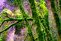 tree of moss HDR (michael mainiero) Tags: oregon river portland columbia gorge interestingness3