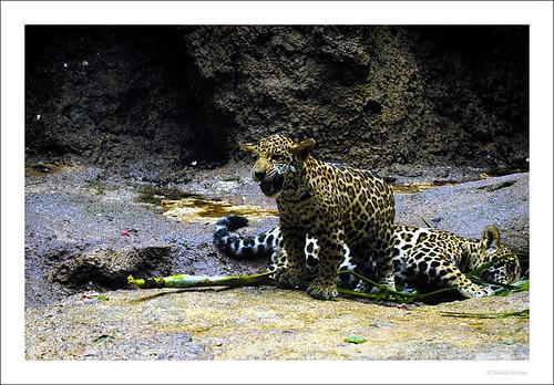 jaguar growling
