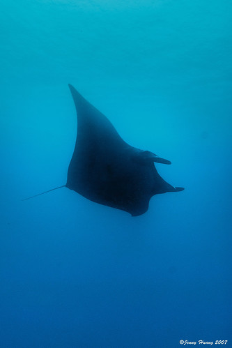 Manta ray flying