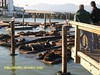 海獅群集在39號碼頭(sea lions at the fisherman's wharf pier 39)