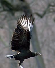 Taking Flight (Greg Adams Photography) Tags: winter january vulture 2007 montgomerycounty terwood pennypackpreserve specanimal animalkingdomelite hhsc2000
