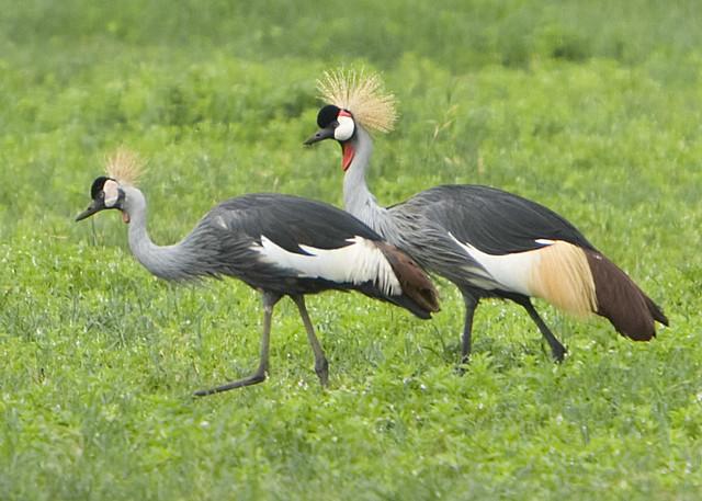 Crested Birds in Ngorongoro