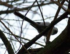 Long-Tailed Tit by Albion Channel