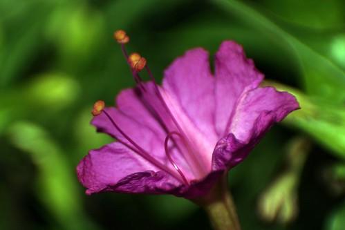 Mirabilis Jalapa (Hendirikka) - III - a photo on Flickriver Hendirikka Flower
