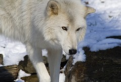 The Watchful Eye (kotobuki711) Tags: winter white snow ny newyork cold male yellow rock wolf conservation canine alpha artic wolves alphamale britishcolumbian atka southsalem wolfconservationcenter impressedbeauty