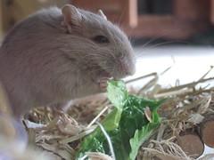 Earl eats lettuce (ttcopley) Tags: pet gerbil grey earl