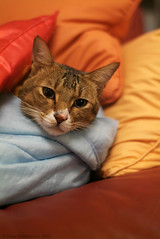 Darn...... (Hina :-)) Tags: winter baby cold cute home cat feline adorable kitty sofa blanket hina cushion monkie maomao comfy