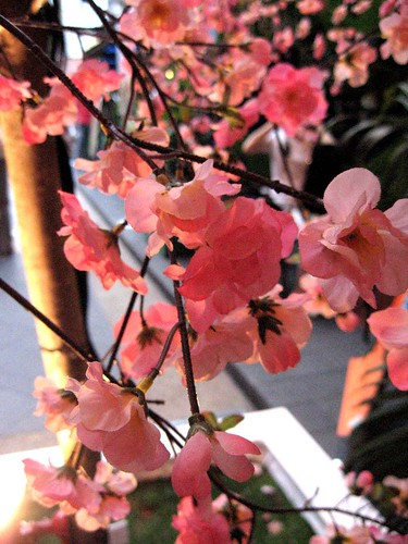 BlossomsCine