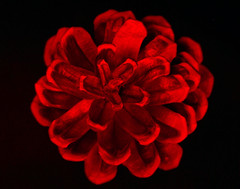 A Red Flower For You (flopper) Tags: longexposure red black flower macro blossom cone valentine pinecone interestingness11 valentinesday interestingness9 interestingness10 interestingness16