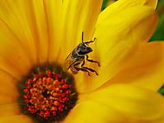 Gold thief (Aditya Rao.) Tags: sunset india flower macro green tower clock grass yellow gold golden evening petals wings stem university sting petal bee honey thief gradient nectar pollen theft bits auditorium lawns rao rajsthan pilani thihef