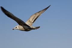 Gull (a_w_taylor) Tags: saved sea sky beach deleted7 deleted9 deleted6 wind deleted3 seagull gull deleted2 deleted4 deleted10 clear deleted breeze deleted8 deelte5