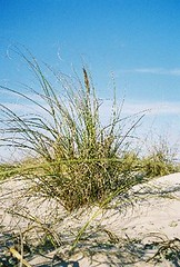 Sea Oats in the Dunes on Padre Island National Seashore - past the 4 Wheel Drive (psanchodog) Tags: sanddunes seaoats padreislandnationalseashore