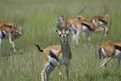 Thompson's gazelles, Masai Mara, Kenya