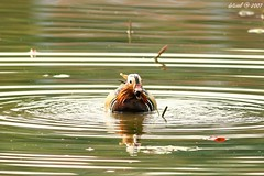 Mandarin Duck (dotcool) Tags: bird duck anatidae
