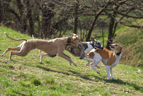 Whippets in action (Nisha, Pluto and Coco)