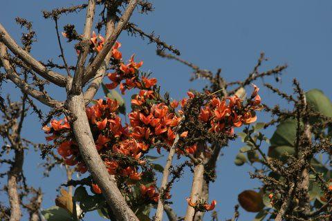 Palash (lac)  (Kumkum tree)flowers, Lalbagh 7 Mar 07