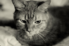 Cat, St. Paul, Minnesota (Seven Seconds Before Sunrise) Tags: bw minnesota cat 50mm feline unitedstates stpaul mikey blanket twincities