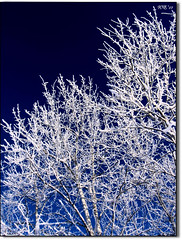 Goodnight Snow! (Wenspics) Tags: blue winter sky white snow black tree dark spring sticks bush poplar frost branches opt naturesfinest supershot abigfave superaplus aplusphoto proudphotoshopper gempics