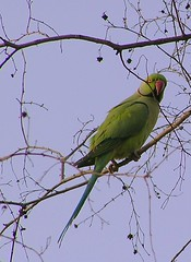 Parakeet on a dhok tree
