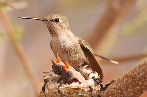Anna's Hummingbird and kids