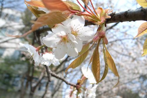 2007 first cherry blossom