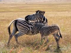 Zebra (hannes.steyn) Tags: africa nature animals lumix fz20 panasonic zebra reserves 50club rietvleidam pdpnw hannessteyn