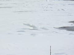 melting river (reddogs4me) Tags: ice stlawrenceriver riverice springbreakup