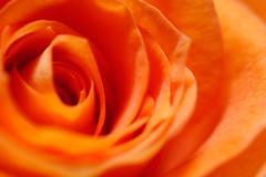 Rose 2007_10 (dolphin_dolphin) Tags: orange flower macro rose wonder topv333 bokeh blueribbonwinner masterphotos newphotographer p1f1 delightfulroses