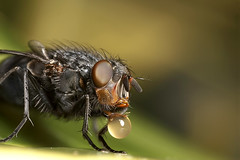 Bluebottle bubble blowing (Lord V) Tags: macro bug insect fly soe