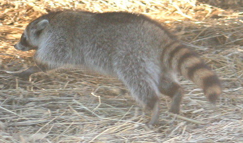 common raccoon running 02