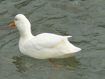 canard blanc.jpg