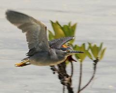 Greenback Heron in Flight (Ardea cinerea)