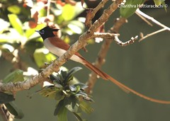 Ceylon Paradise Flycatcher