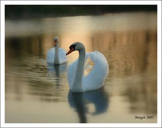 Evening-swans.